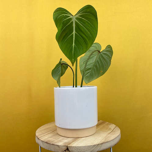 Philodendron Gloriosum 2