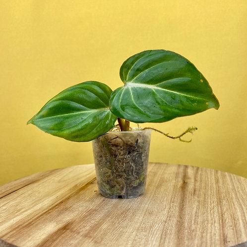 Philodendron Gloriosum Seedling 2