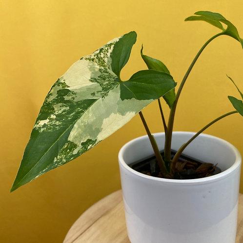 Syngonium Podophyllum Aurea 2