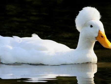 Afro Duck!