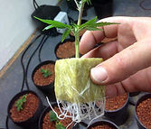 Succesful Rooting Cloning