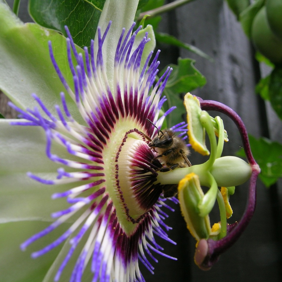 Passiflora-edulis-a-bee-doing-its-thing.JPG