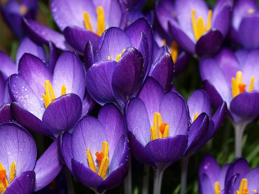 violet-flowers-in-the-garden-hd-wallpaper-28267_original