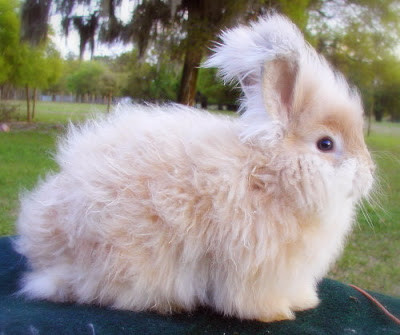 Angora Rabbit Funny
