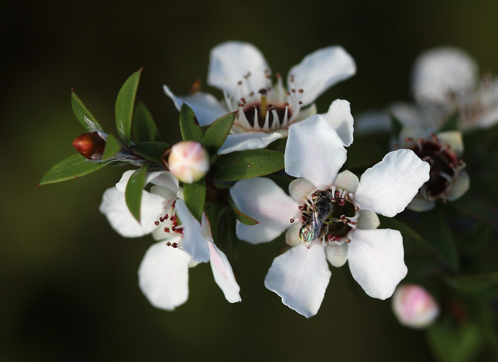 Manuka_flowers_and_native_bee