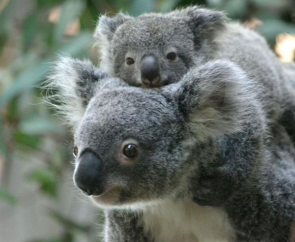 koala-mating-season