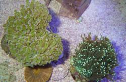 Euphyllia glabrescens et paradivisa