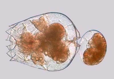 Rotifères ( Brachionus plicatilis )
