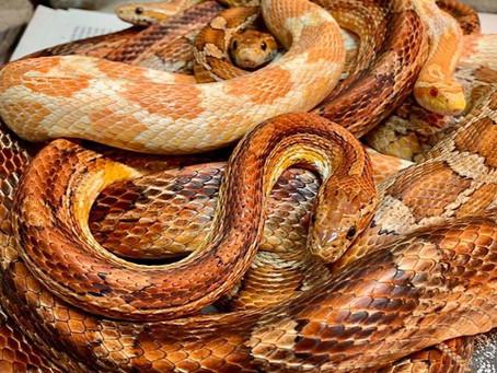 Paarhaltung Reptilien