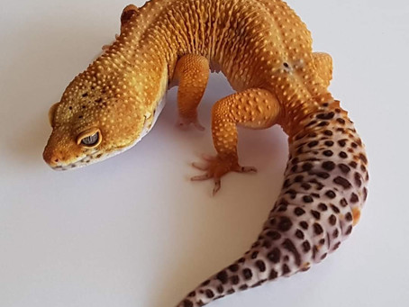 Übergewicht bei Reptilien