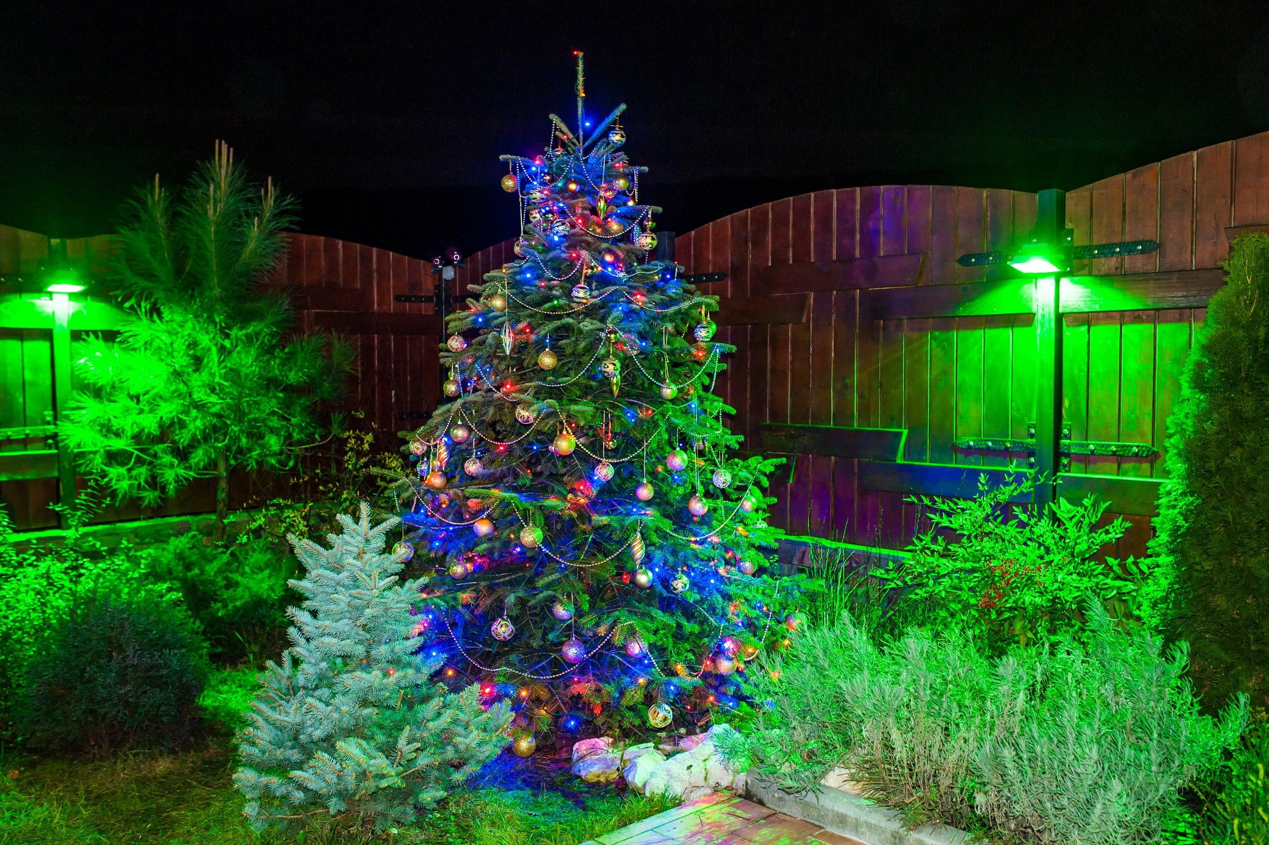 большая живая елка
