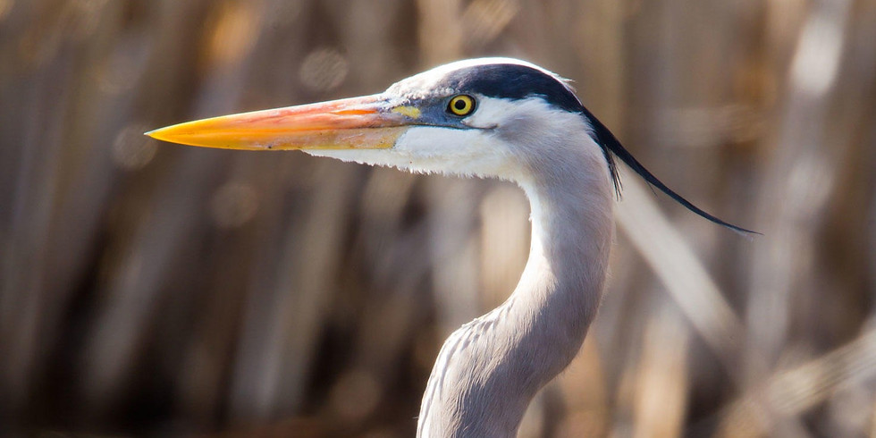 The Majesty of the Blue Heron ( Filling up fast ! )