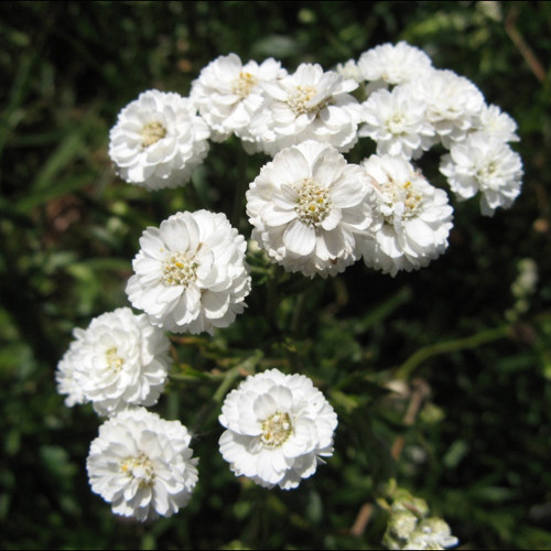 achillea+ptarmica+pearl+at+killiecrankie+farm.jpg