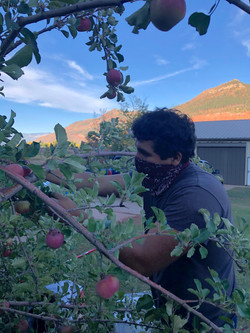 Harvest Apples!