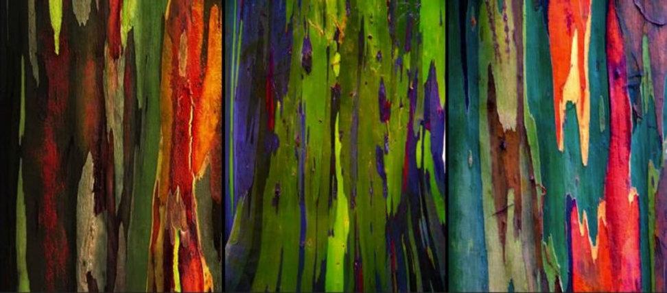 arbre_arc_en_ciel_eucalyptus_deglupta_22