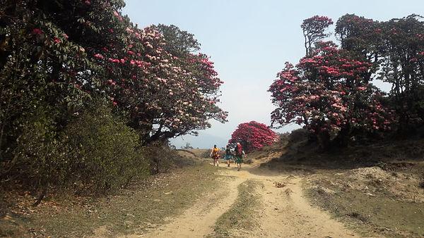 Rhododendran Pikey eak ska.com.np.jpg