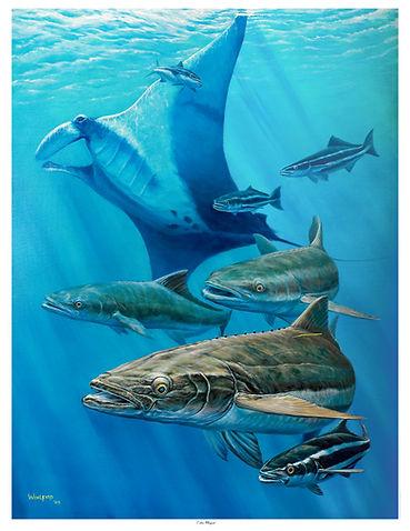 school of cobia under manta ray