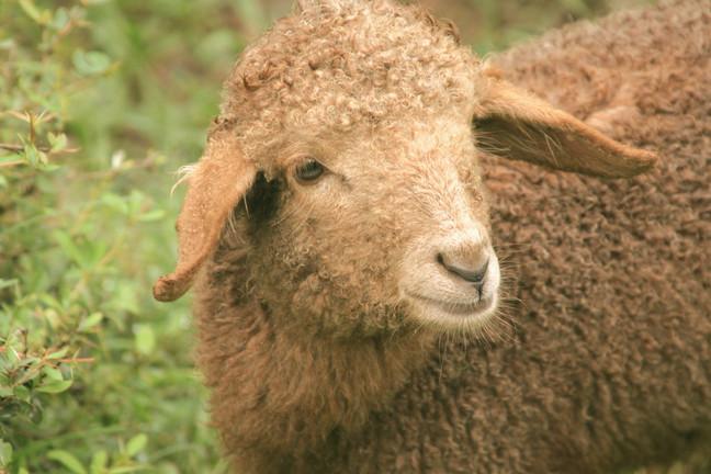 Braunes Schaf