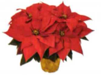"6"" Poinsettia with Gold Pot Cover"