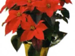 "8"" Poinsettia with Gold Pot Cover"
