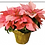 "Thumbnail: 8"" Poinsettia with Gold Pot Cover"
