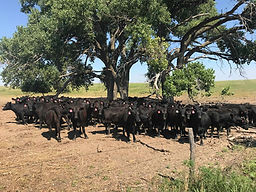 Heifers under cottonwood2.jpg