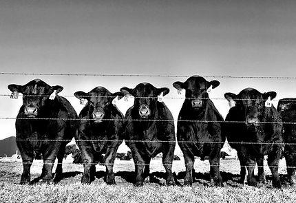 B&W bulls.jpeg