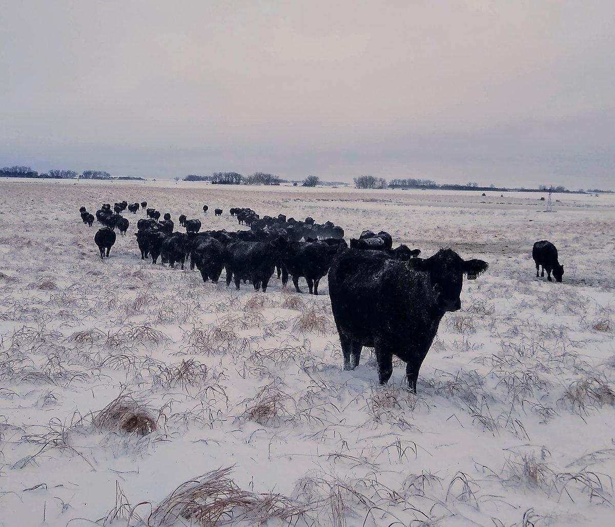 Winter Sale Cows.jpg