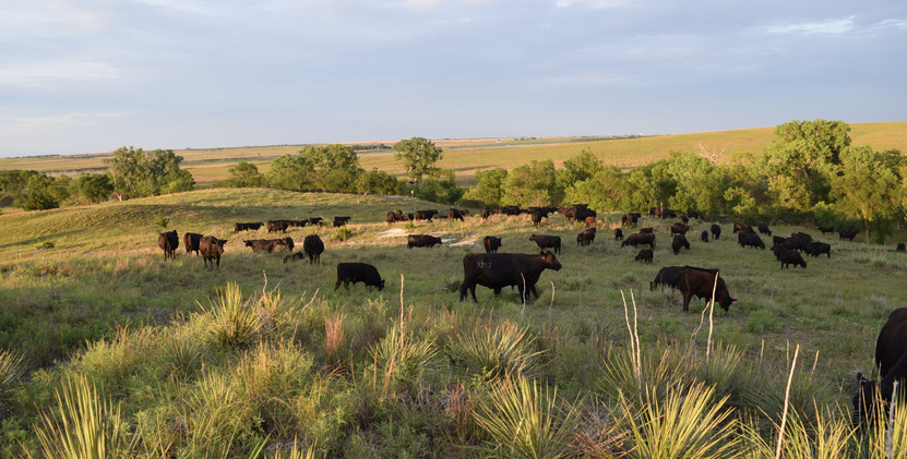 COWS ON REFUGE
