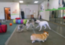 Dogs having fun in drop-in Yappy Hour