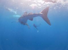 Tiburon ballena, Whale shark tour.