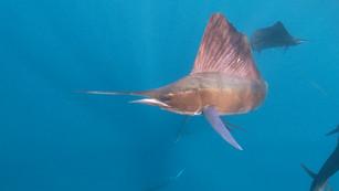 Sailfish Snorkeling Season 2020