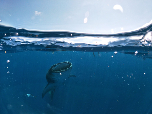 Swim with the whale sharks Isla Mujeres
