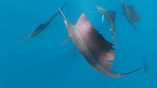 Snorkel with the Sailfish