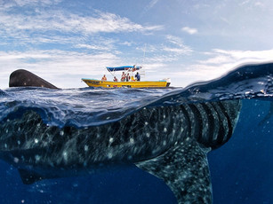 Whale shark tours Isla Mujeres Mexico June-September