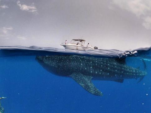 Whale shark tour Isla Mujeres, Mexico.