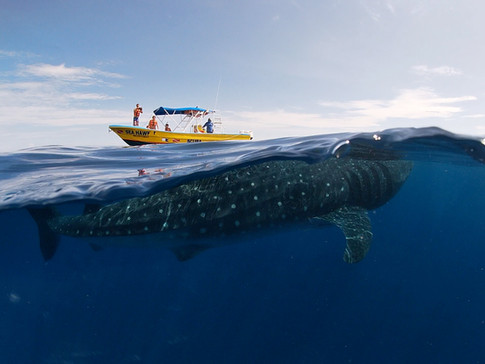 Great shot of whale shark and sea hawk boat.