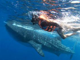 Once in a lifetime experience, swimming with the whale sharks.