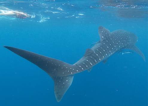 Whale shark tour Isla Sea Hawk