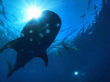Whale sharking on Isla Mujeres