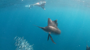 Sailfish Snorkel Tour