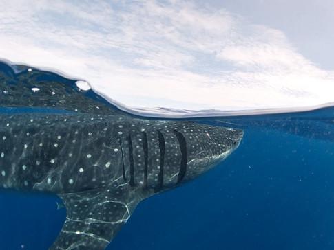 Gentle giants: whale sharks.