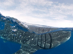 El tiburon ballena, Whale shark.