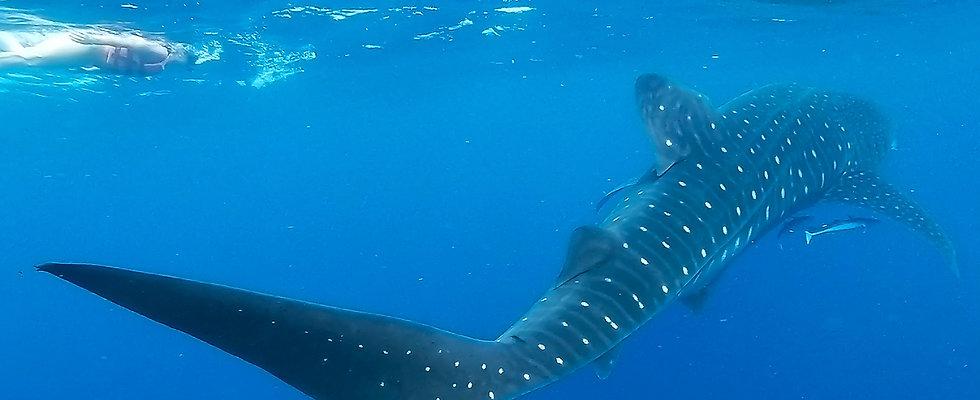 Sea-Hawk-Whale-Sharks-3-1.jpg