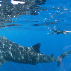 Swim with the whale sharks, Isla Mujeres, Sea Hawk Divers