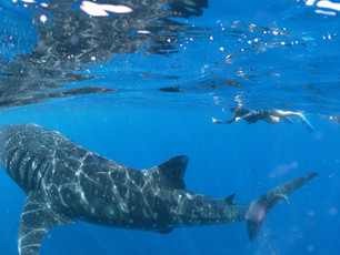 Private Whale Shark Tour