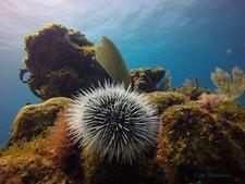 Sea Urchin in Manchones