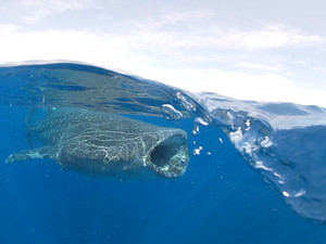 Whale shark filtering.