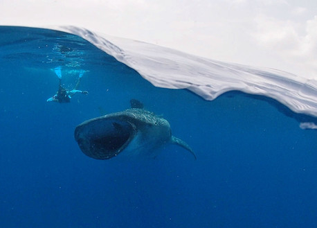 Whale shark swimming.