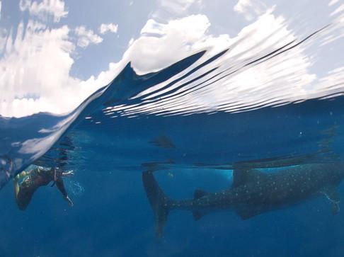 Isla Mujeres, whale shark tour.